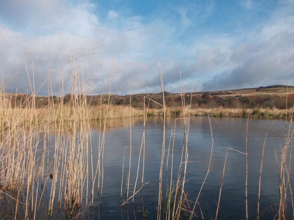 Phragmites reeds on project site