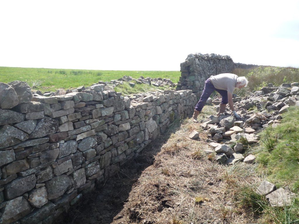 Learning the historic methods of Dry Stone Walling